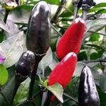PEPER 'Aussie Black', 15 zaden